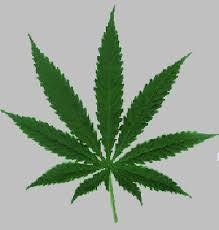 Canabis frunza
